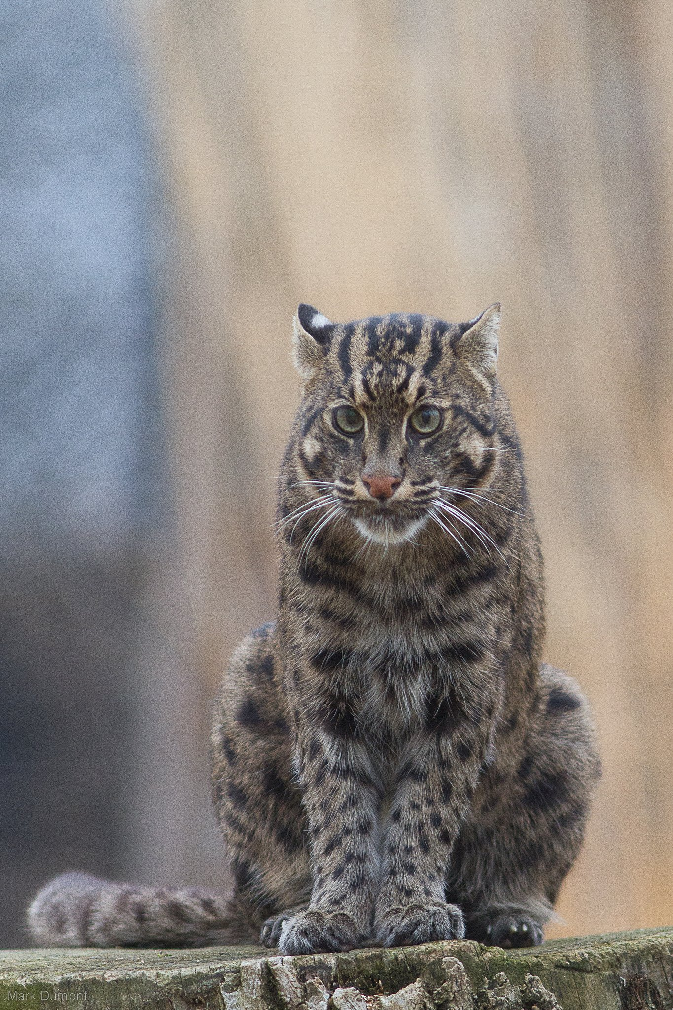 Minnow the fishing cat and her trainer linda help for The fishing cat