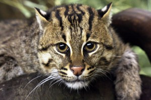 Fishing cat (Photo: Connie Lemperle)