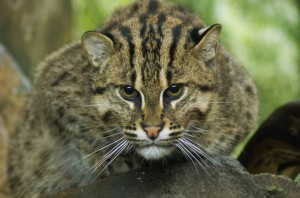 Fishing cat (Photo: Kathy Newton)