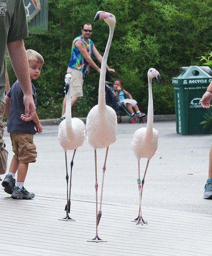 Wild Encounter program flamingos walking through the Zoo.