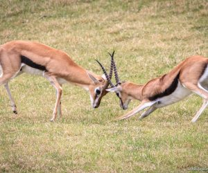 Two Thomson's gazelle horn fighting to show who's in charge (Photo: Cassandre Crawford)