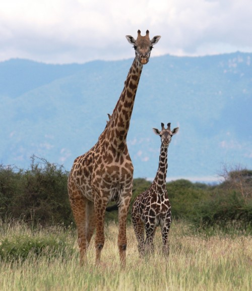 Maasai giraffes in the wild (Photo: Dr. Derek Lee, Wild Nature Institute)