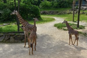 Giraffes Tessa (left), one-year-old Fennessy (center) and 7 month Theo (right)
