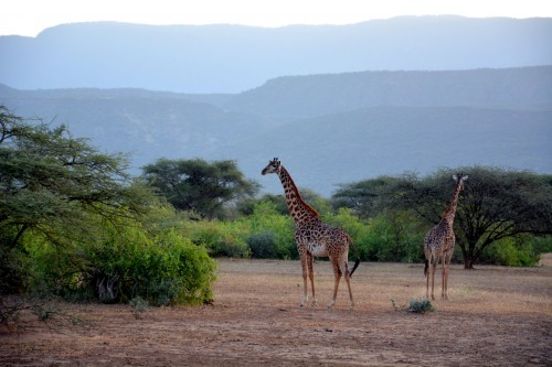 Giraffes spotted on our game drive in the South Rift (Photo: Shasta Bray)