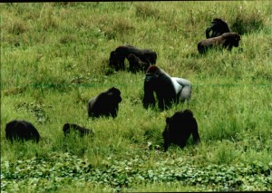 Gorilla group at Mbeli Bai