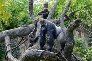 Gorillas live in social groups (Photo: Lisa Hubbard)