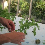 Planting basil in the floating rafts