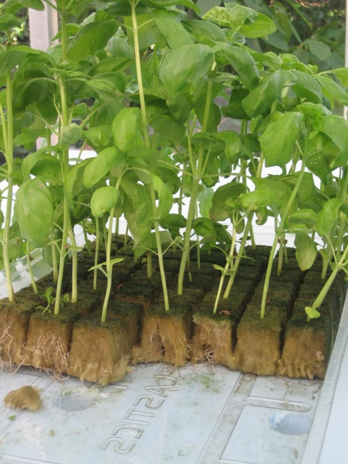 Basil planted in Rockwool, ready to be placed in the floating rafts.