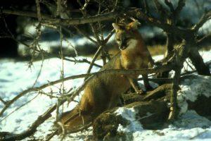 Grey fox (Photo: Dave Schaffer)