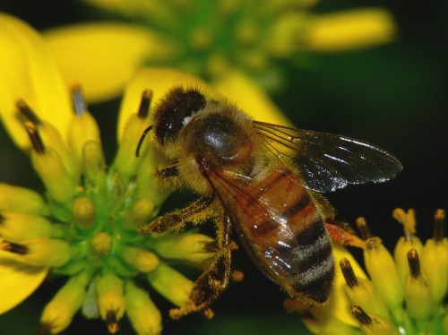 About ½-inch long, honeybees have slender, slightly fuzzy abdomens that are pointed at the tip, and they have an obvious striping pattern. (Photo: Brad Smith)