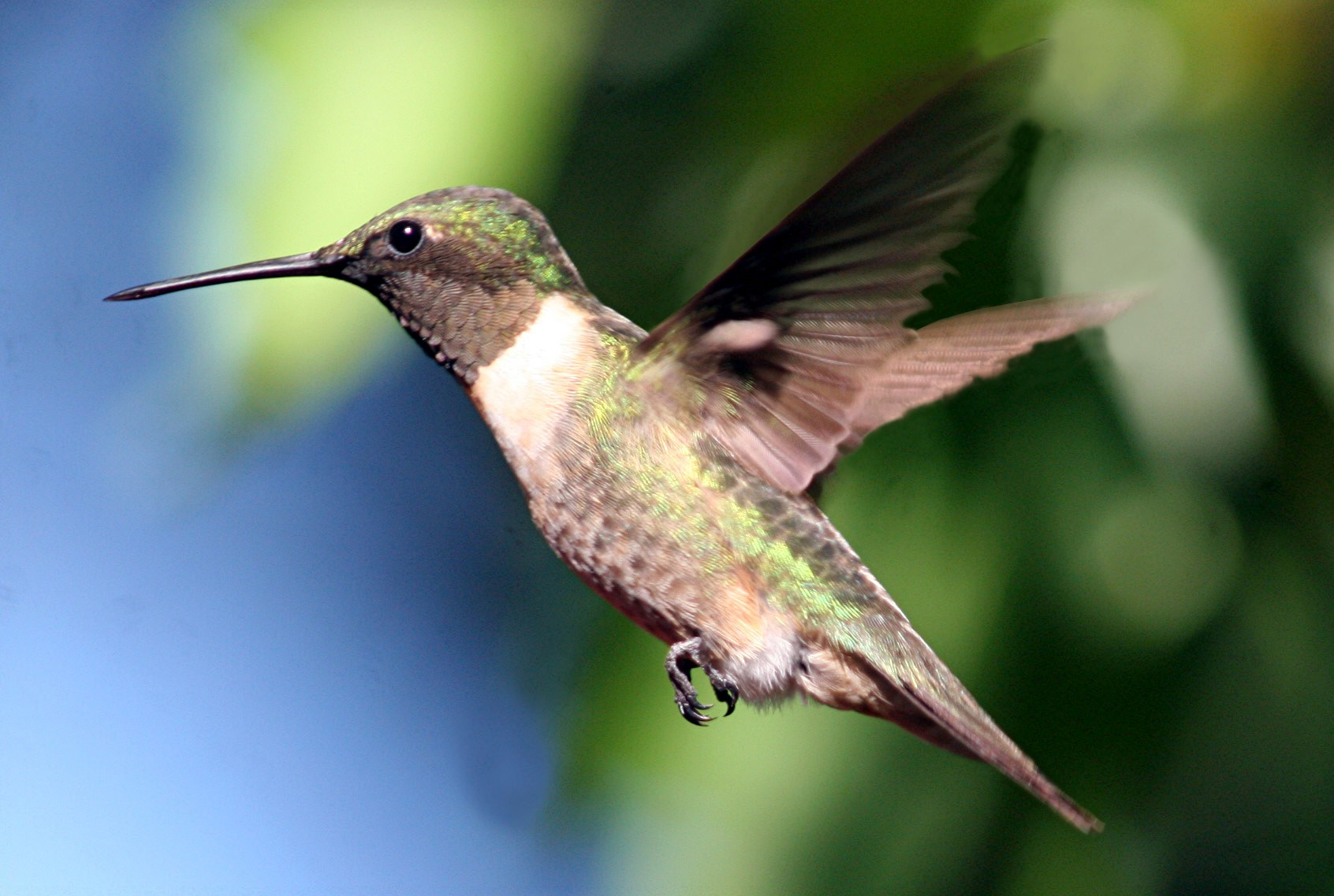 Hummingbird (Photo: Connie Lemperle)