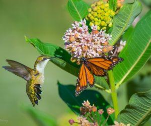 Hummingbird and monarch on milkweed (Photo: John R Kelsey)