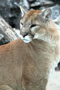 Joseph the cougar