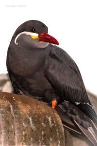 Inca tern (Photo: Cassandre Crawford)