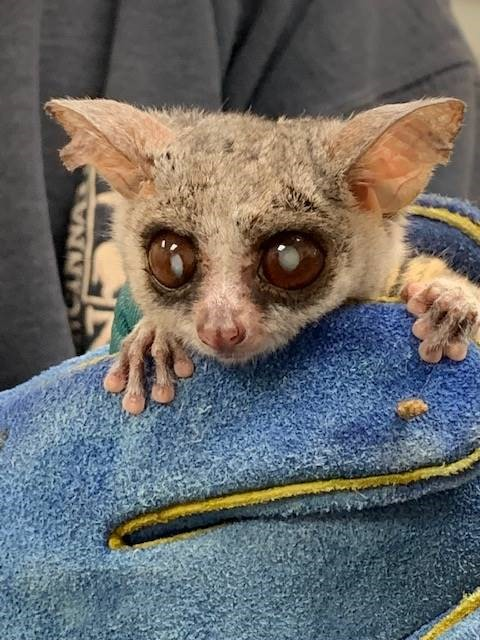 Galago with Cataracts