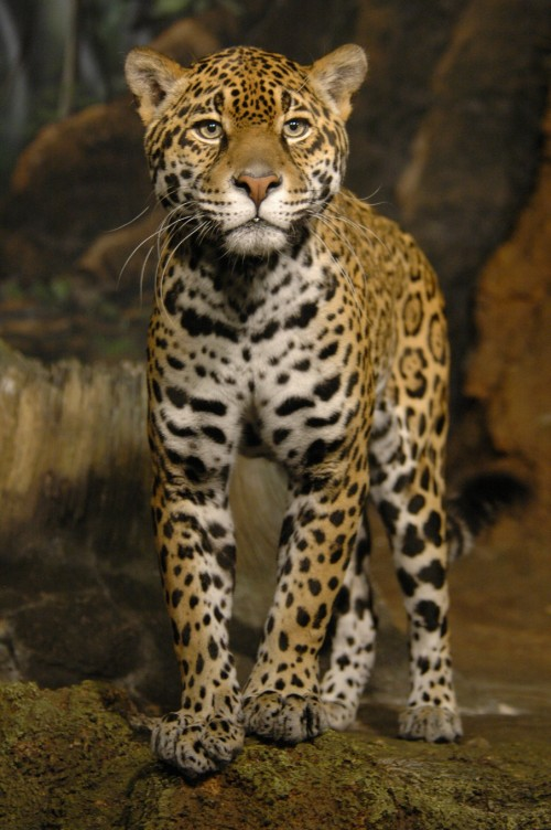 Jaguar (Photo: Mike Dulaney)