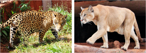 Jagur & Puma