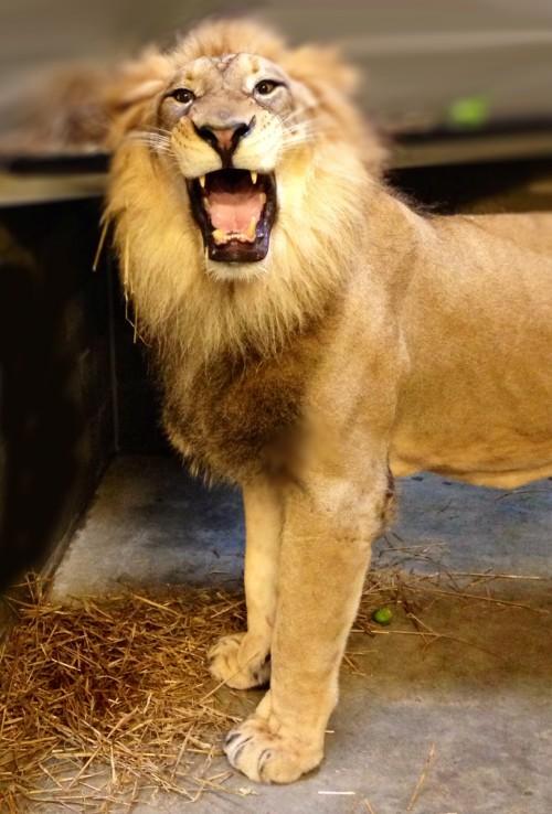 John the lion.