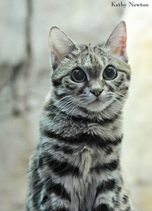 Black-footed cat (Photo: Kathy Newton)