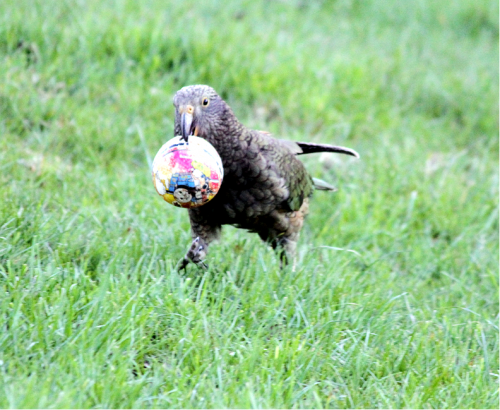 Kea visiting property in Murchison (Photo: Lynette Hunter)