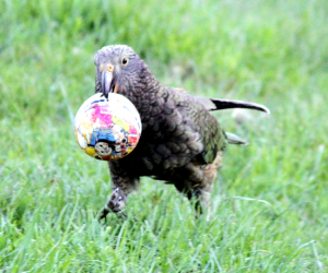 Kea visiting property in Murchison (Photo: Lynette Hunter)