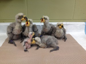 Kea chicks that hatched at the Zoo