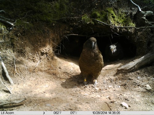 Kea outside a nest (Photo: Kea Conservation Trust)