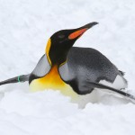 King penguin (Photo: Mark Dumont)