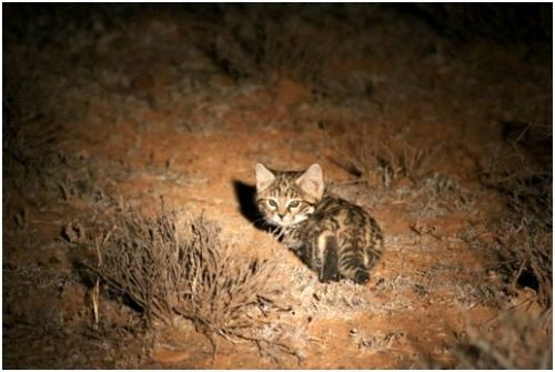 Kittens like this one are not trapped, but can still be observed because their mother was radio-collared the previous year (Photo Anneke Moresco)