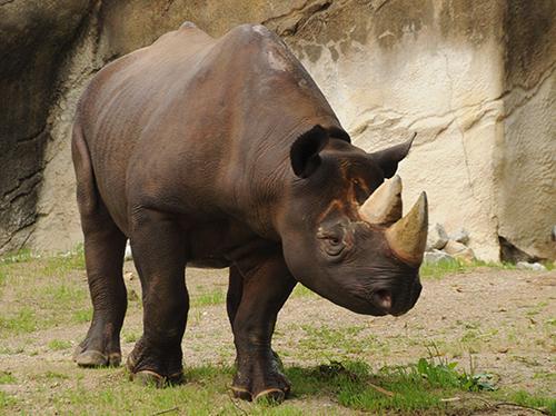 Black rhino, Klyde.