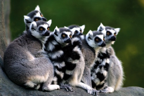 How many lemurs can you count?
