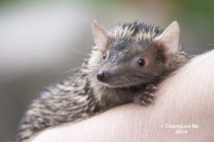 Lesser hedgehog tenrec, an insectivore that resembles a hedgehog (Photo: ChengLun Na)