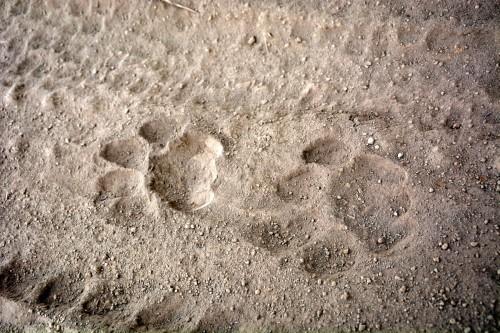 We saw plenty of lion tracks! (Photo: Shasta Bray)