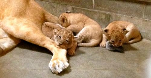 lioncubblog3