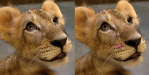 lioncubblog7