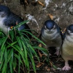 Little penguins (Photo: Cassandre Crawford)