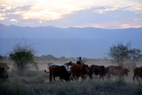 Maasai herder brings his cattle home at sunset (Photo: Shasta Bray)