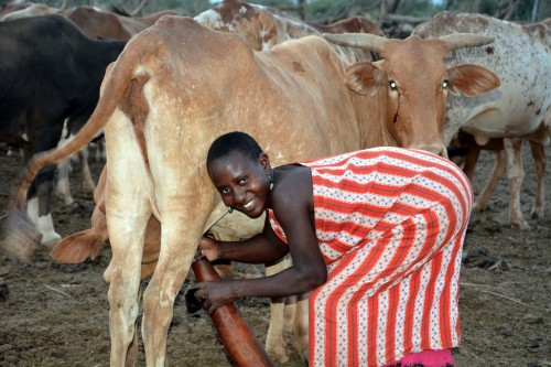 Maasai woman milks a cow (Photo: Shasta Bray)