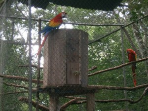 A breeding pair of scarlet macaws at the Centre