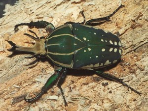 Magnificent Flower Beetle