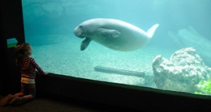 Manatee with Zoo Visitor