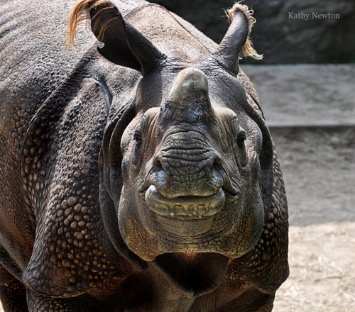 Manjula, Indian rhino (Photo: Kathy Newton)