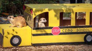 Meerkats on a school bus!