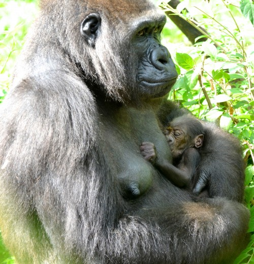 Cincinnati Zoo gorillas, Asha and  her infant, Mondika, named for the field conservation project (Photo: Michelle Curley)