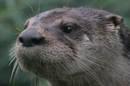 north_american_river_otter_ face