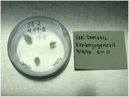 Small oak leaves used to initiate somatic embryogenesis