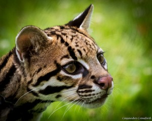 Ocelot (Photo: Cassandre Crawford)