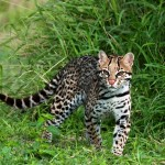 One of the amazingly beautiful small cats, the ocelot, that will be featured in Night Hunters. (Photo by Nova Mackentley)