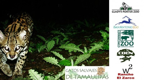 Poster featuring a camera trap image of an ocelot (Photo: Wild Cats of Tamaulipas)