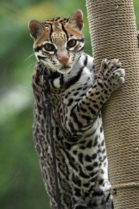 Sihil the ocelot (Photo: Connie Lemperle)